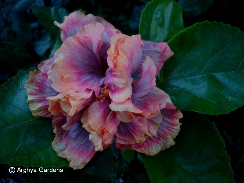 Hibiscus Allure