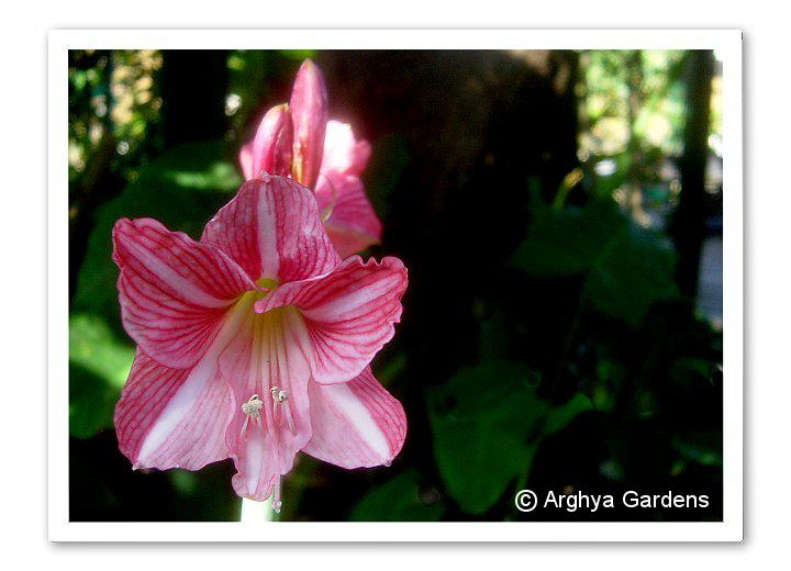 Reticulatum Bangkok Rose