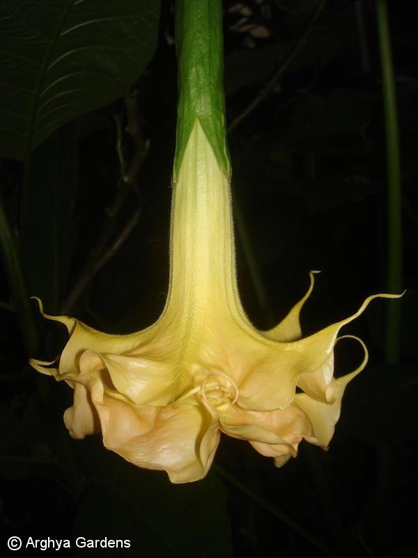Brugmansia Goldflame