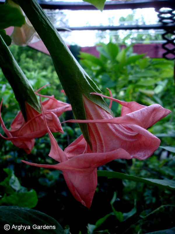 Brugmansia Crown Of Thorns