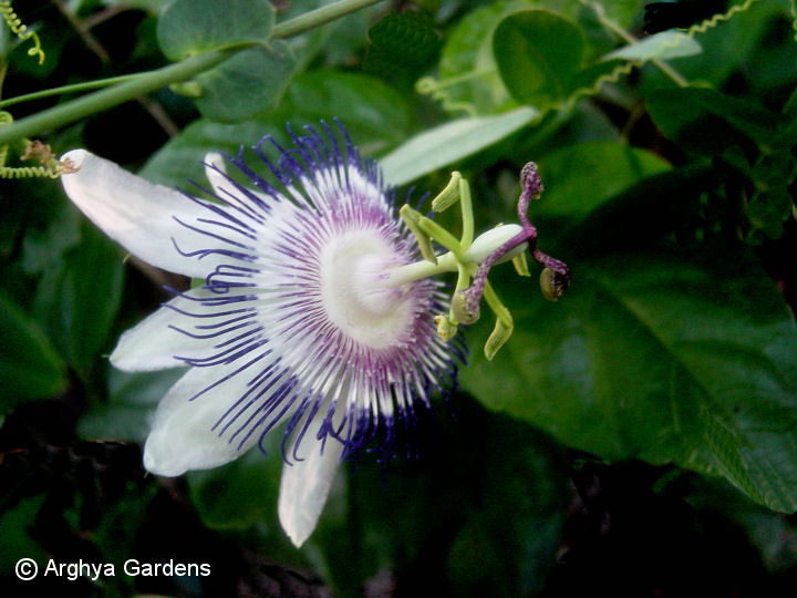 Passiflora Star Of Surbitan