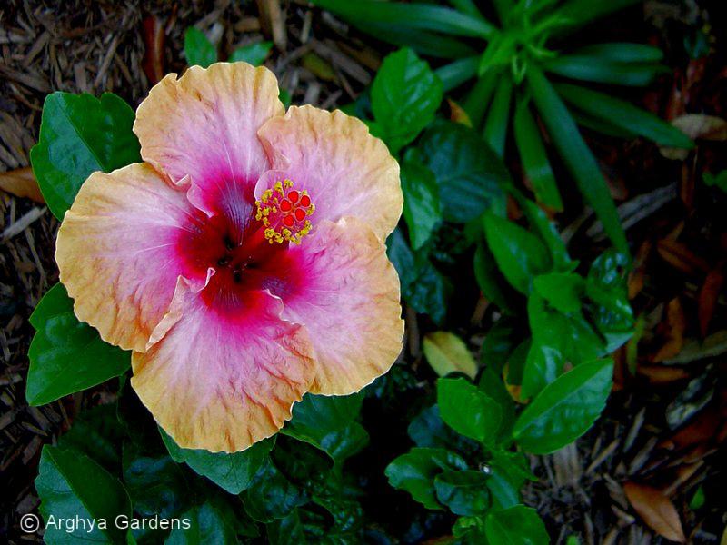 Hibiscus Erin Rachel