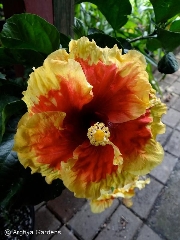 Hibiscus Grand Opening
