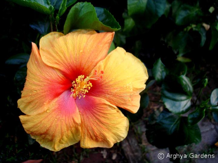 Hibiscus Hawaiian Sunset