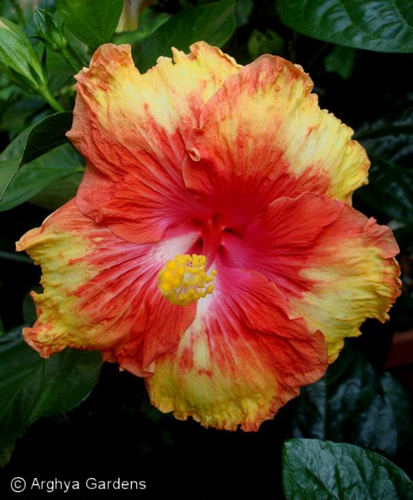 Hibiscus Escapade