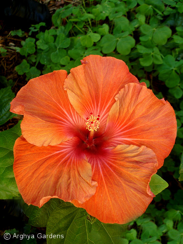 Hibiscus Etouffee