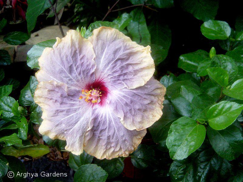 Hibiscus Gabriel
