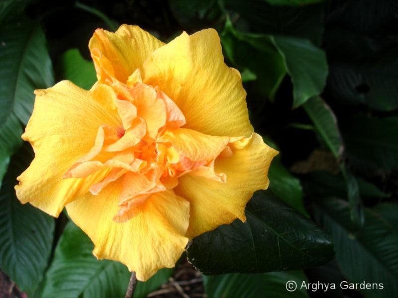 Hibiscus Jan