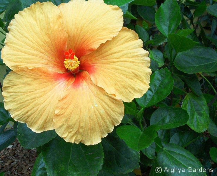 Hibiscus Joan