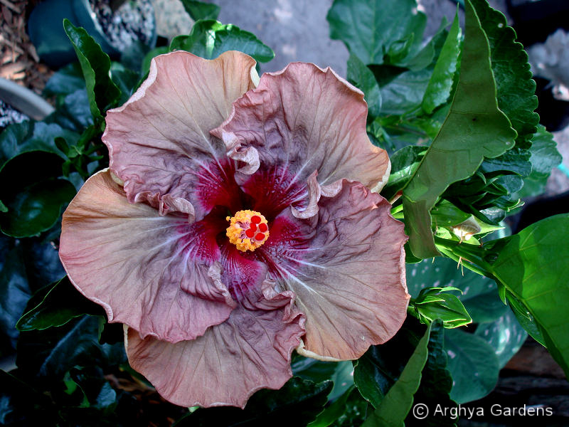 Hibiscus Nightmare
