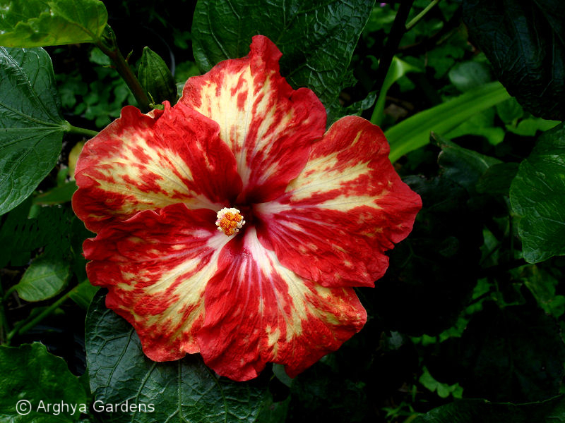 Hibiscus Opening Act