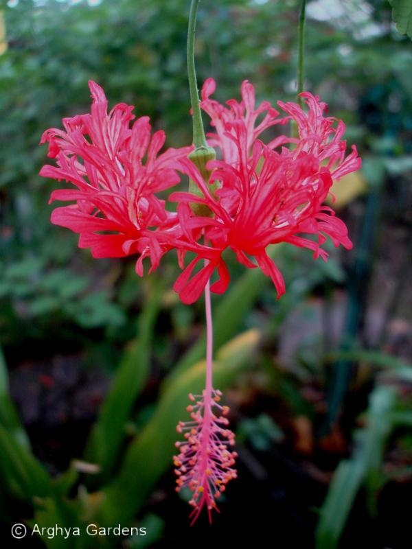 Hibiscus Scizopetalus