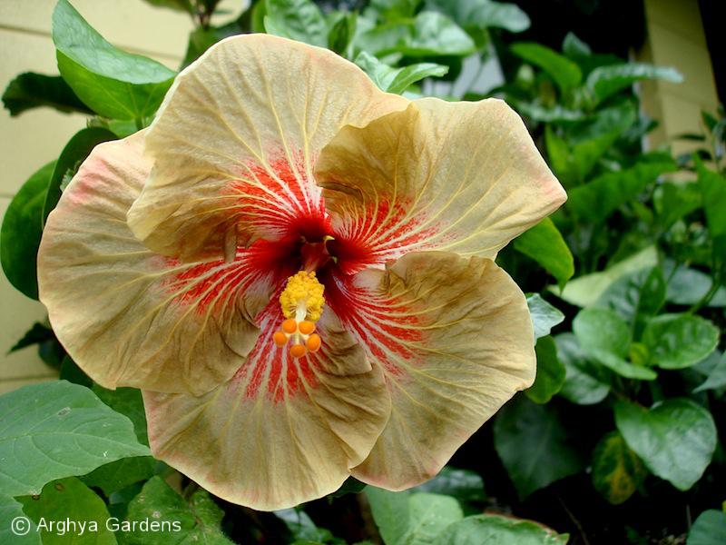 Hibiscus Tigerama