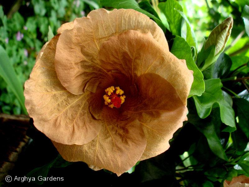 Hibiscus Topaz Glory