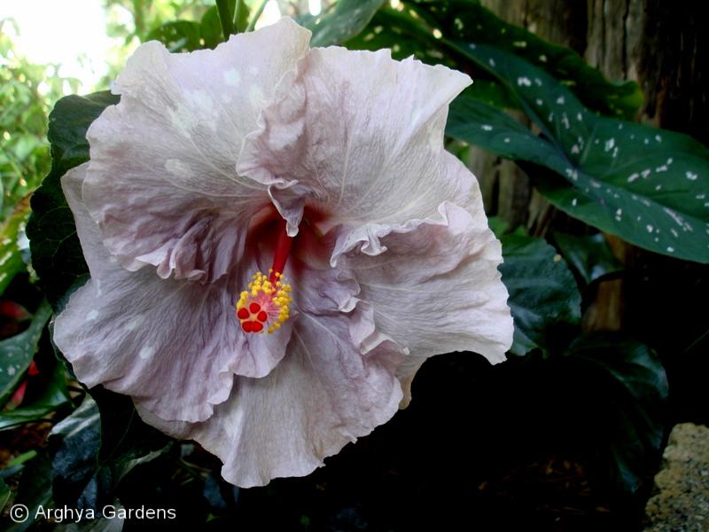 Hibiscus Veronica Todd