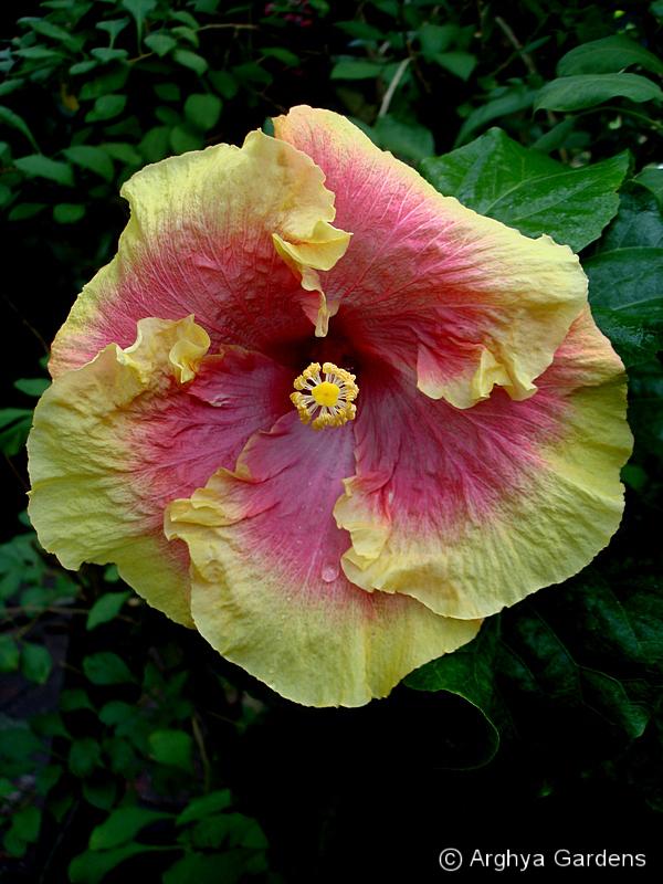 Hibiscus Jamilou
