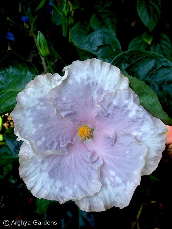 Hibiscus Jason B