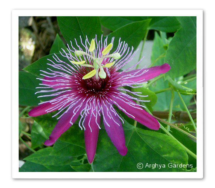 Passiflora Crimson Tears