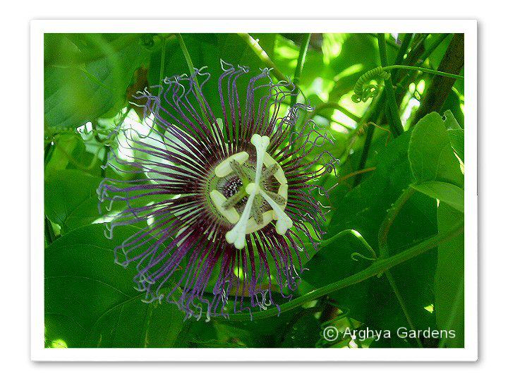 Passiflora Serratifolia