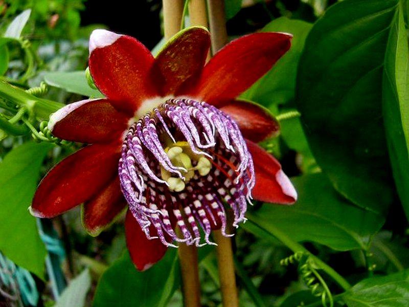 Passiflora Alata