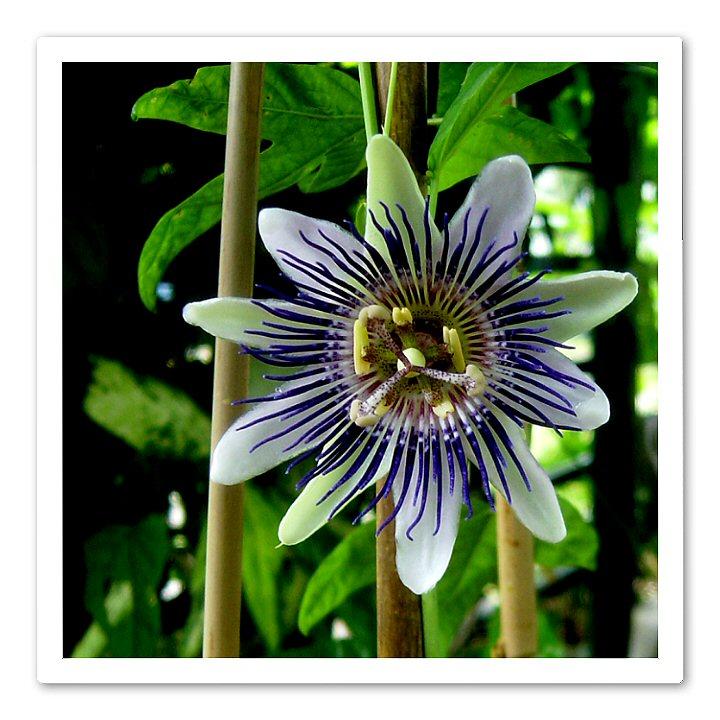 Passiflora Allardi