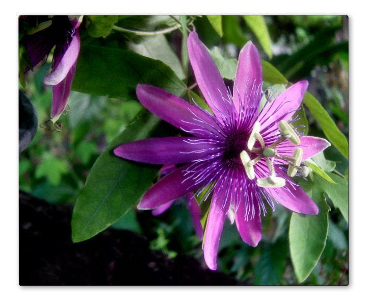 Passiflora Aragorn