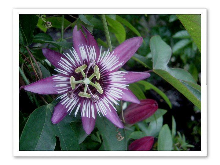 Passiflora Atro Purpurea