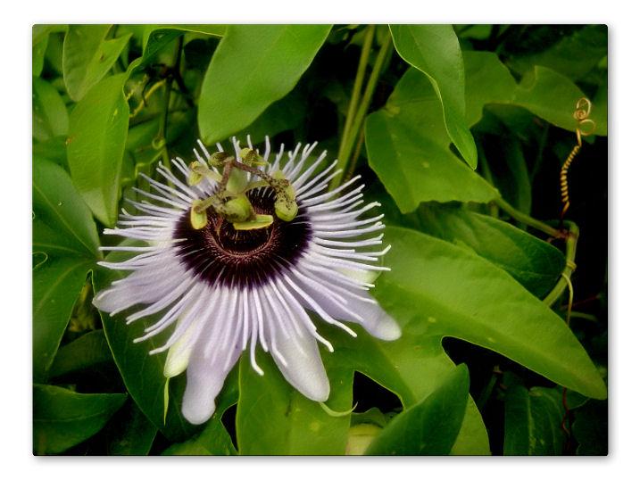 Passiflora Blue Bouquet