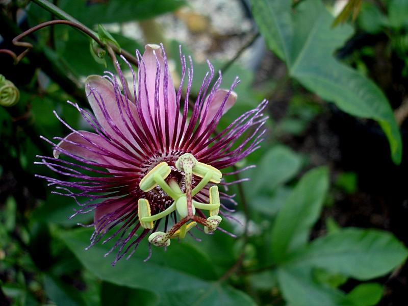 Passiflora Choconiana