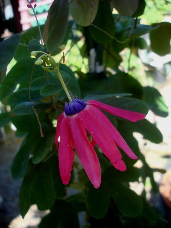 Passiflora Edmondoii