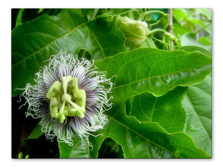 Passiflora Edulis Frederick