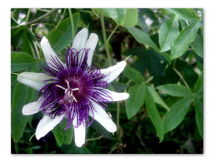Passiflora Indigo Dream