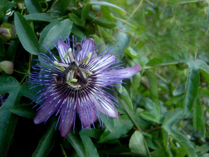 Passiflora Jeanette