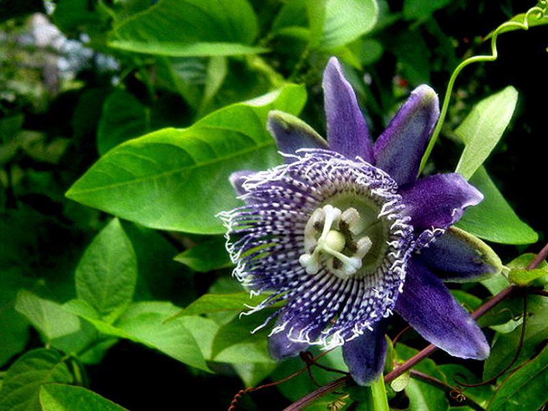 Passiflora Macrocarpa Warmlands