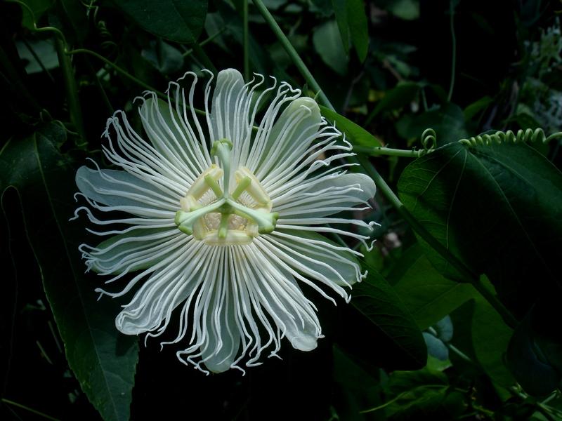 Passiflora incarnata alba