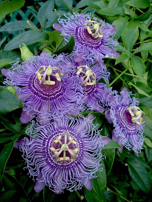 Passiflora incense