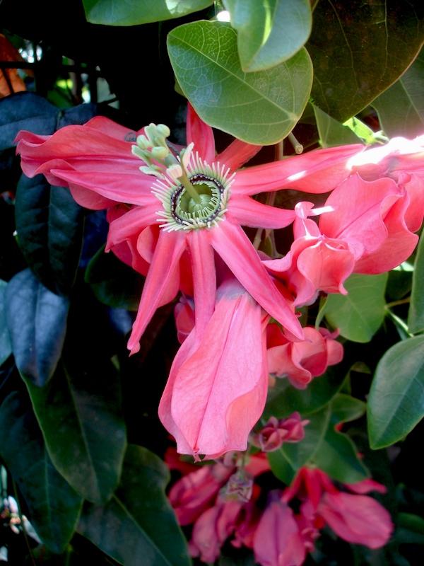 Passiflora Racemosa Buzios