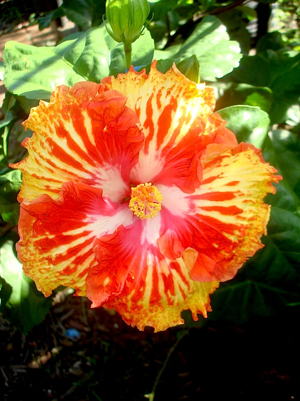 Hibiscus Sunshowers