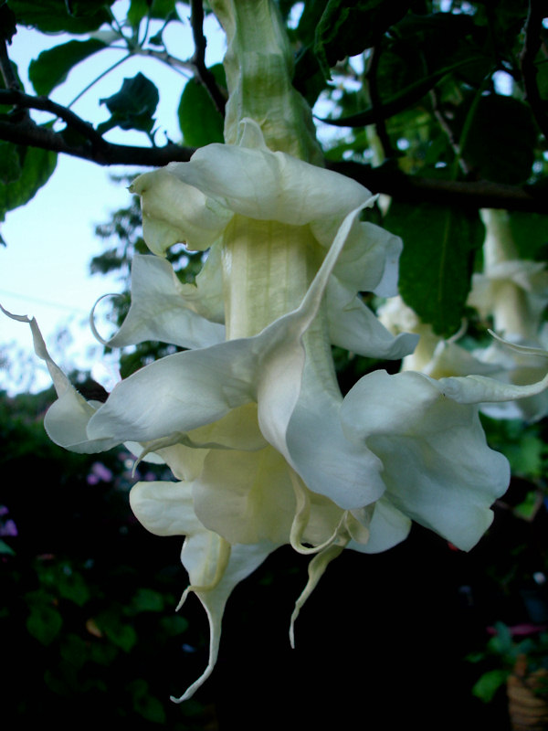 Brugmansia Wretched Mess