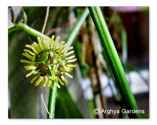 Passiflora boenderi