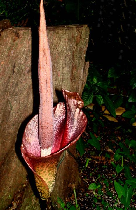 Amorphophallus Rivieri