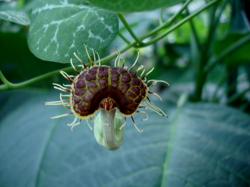 Aristolochia Fimbriana