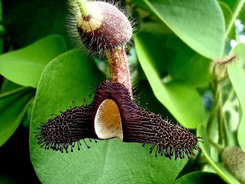 Aristolochia Ridiculata