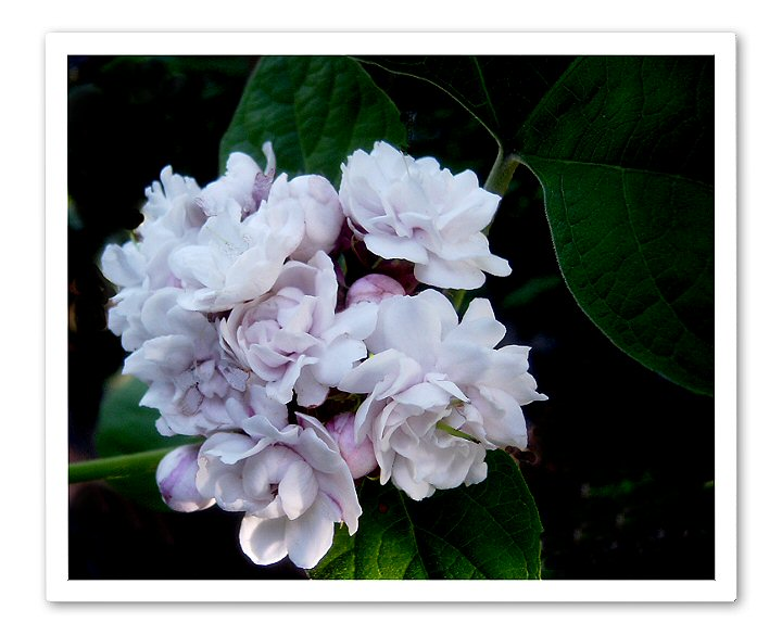 Clerodendrum Fragrans