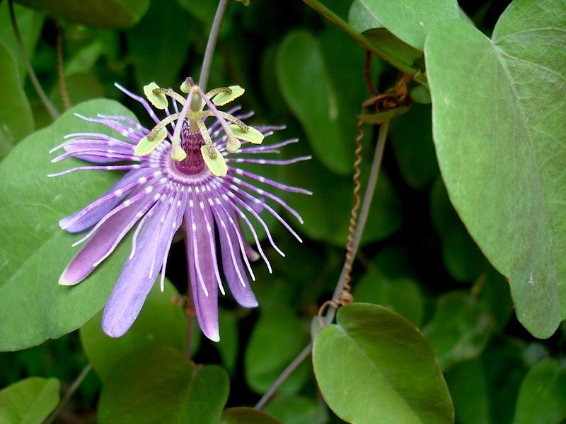 Passiflora subrotunda