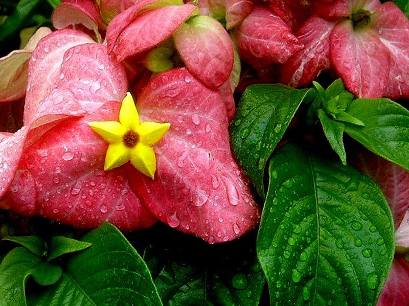 Pink Mussaenda