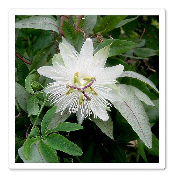 Passiflora Subpeltana