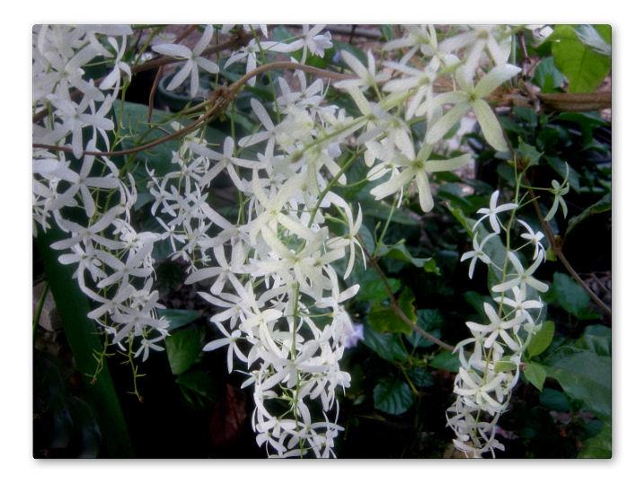 Queens Wreath Vine White