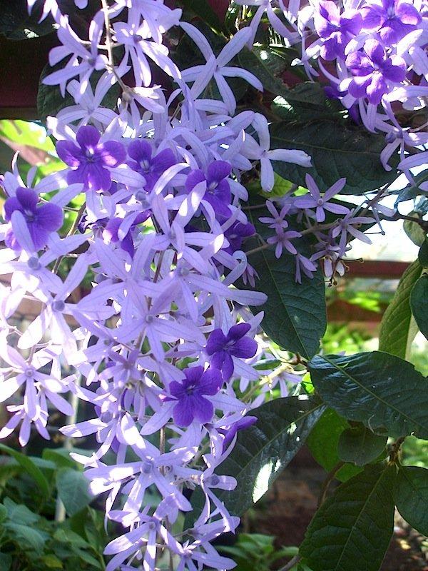 Queens Wreath Vine