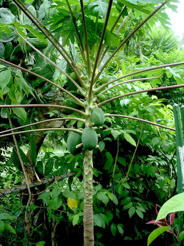 TR Hovey Papaya